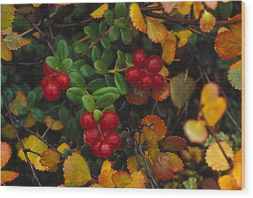 Lowbush Cranberries Vaccinium Vitis Wood Print by Nick Norman