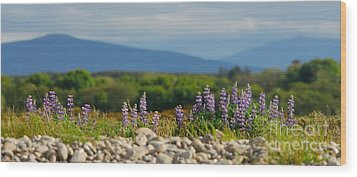 Lupins On A Shingle Beach Wood Print by John Kelly