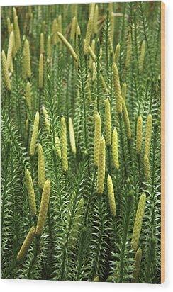 Lycopodium Annotinum Annotinum Wood Print by Bjorn Svensson