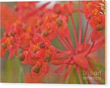 Macro Euphorbia Fireglow Plant Wood Print by Valerie Garner