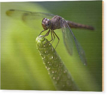 Macro Of A Dragonfly - Focus Stacked Image Wood Print