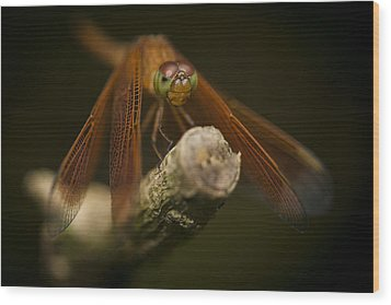 Macro Photograph Of A Dragonfly On A Twig Wood Print by Zoe Ferrie