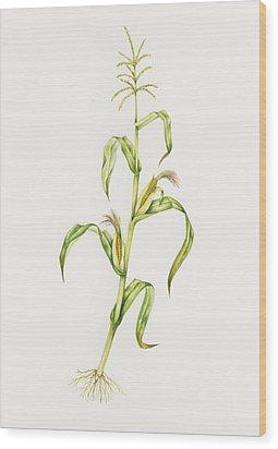 Maize (zea Mays) Wood Print by Lizzie Harper