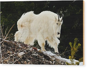 Majestic Mountain Goat Le Wood Print by Greg Norrell
