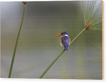 Malachite Kingfisher On A Grass Stem Wood Print by Roy Toft