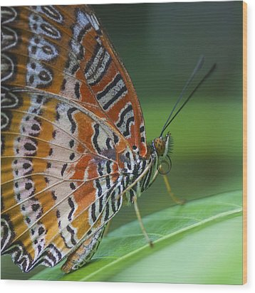 Malay Lacewing Butterfly Wood Print by Zoe Ferrie