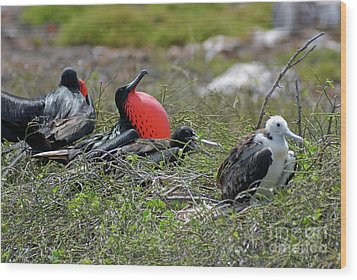 Male And Juvenile Great Frigate Bird Wood Print by Sami Sarkis
