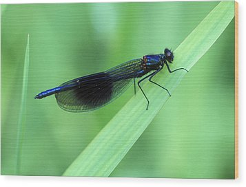 Male Banded Damselfly Wood Print by Dr Keith Wheeler