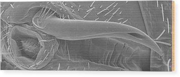 Male Bedbug's Sexual Organ, Sem Wood Print by Power And Syred