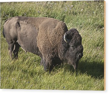 Male Bison Grazing  Wood Print by Paul Cannon