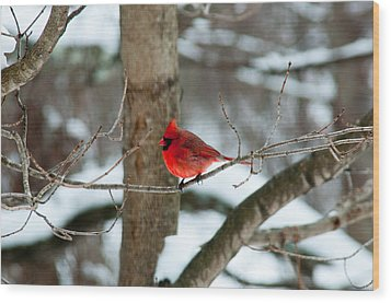 Male Cardinal In Winter Wood Print by Ron Smith