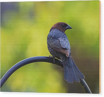 Male Cowbird - Back Profile Wood Print by Bill Tiepelman