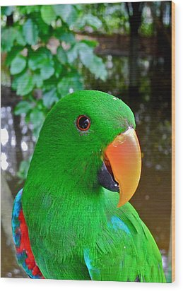 Male Eclectus Parrot II Wood Print by Kirsten Giving