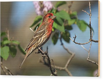 Male Finch Wood Print by Alan Hutchins