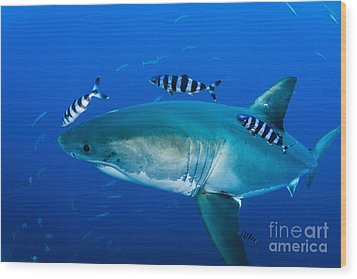 Male Great White Shark And Pilot Fish Wood Print by Todd Winner