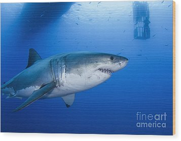 Male Great White Shark, Guadalupe Wood Print by Todd Winner