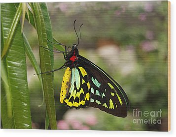 Wood Print featuring the photograph Male New Guinea Birdwing Butterfly by Eva Kaufman