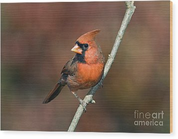 Male Northern Cardinal - D007813 Wood Print by Daniel Dempster
