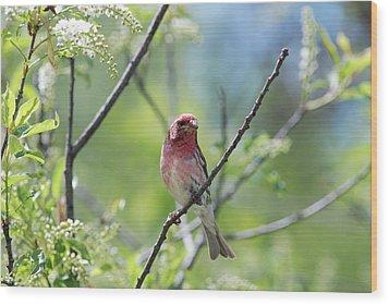Male Purple Finch Wood Print