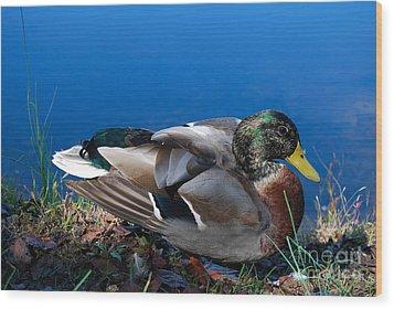 Wood Print featuring the photograph Mallard On River Bank by Eva Kaufman