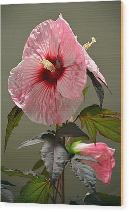 Mallow Hibiscus Wood Print by Sandi OReilly