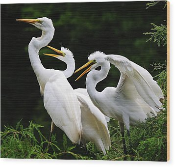 Mama Egrets With Her Babies Wood Print by Paulette Thomas