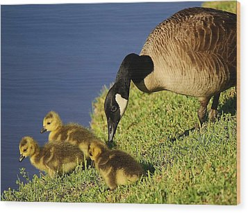 Mama Geese With Her Babies Wood Print by Paulette Thomas