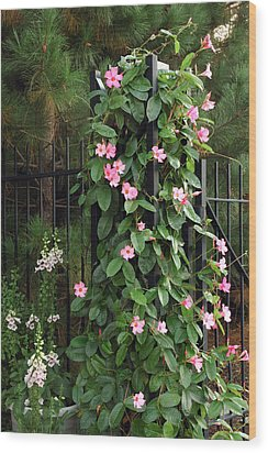 Mandevilla Vine With Pink Flowers Wood Print by Darlyne A. Murawski