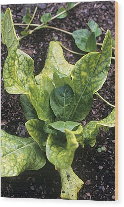 Mandrake (mandragora Officinarum) Wood Print by Adrian Thomas