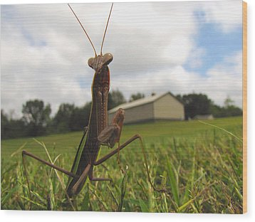 Wood Print featuring the photograph Mantis by John Crothers