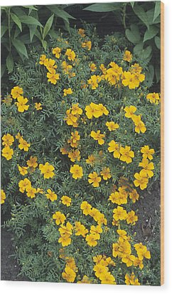 Marigolds (tagetes 'tangerine Gem') Wood Print by Adrian Thomas