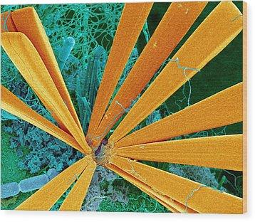 Marine Diatom Algae, Sem Wood Print by Susumu Nishinaga