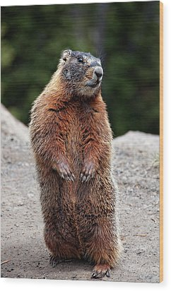 Marmot Rearing Up On Hind Legs In Yellowstone Wood Print by Trina Dopp Photography