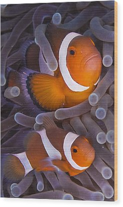 Maroon Clown Fish (premnas Biaculeatus) Amongst Sea Anemone Tentacles, Dumaguete, Negros Island, Philippines Wood Print by Oxford Scientific