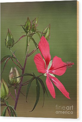 Marsh Hibiscus Wood Print by Jennifer Zelik
