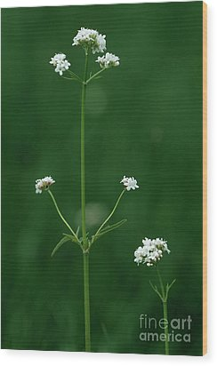 Marsh Valerian Flowers (valerian Dioica) Wood Print by Bob Gibbons