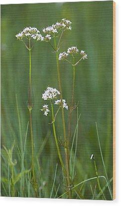 Marsh Valerian (valeriana Dioica) Wood Print by Bob Gibbons
