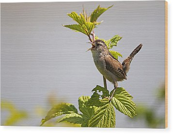 Marsh Wren Calling Wood Print by Terry Dadswell