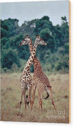Masai Giraffes Necking Wood Print by Greg Dimijian