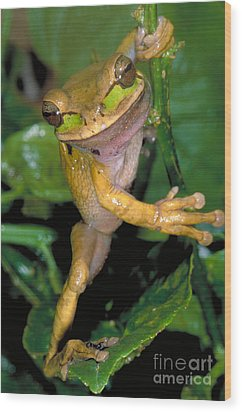 Masked Treefrog Wood Print by Gregory G. Dimijian