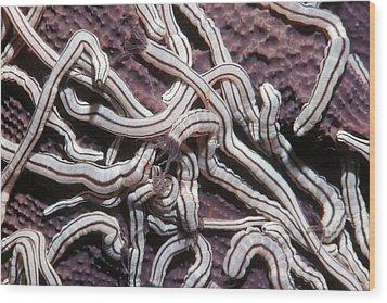 Medusa Worm Sea Cucumbers On A Sponge Wood Print by Georgette Douwma