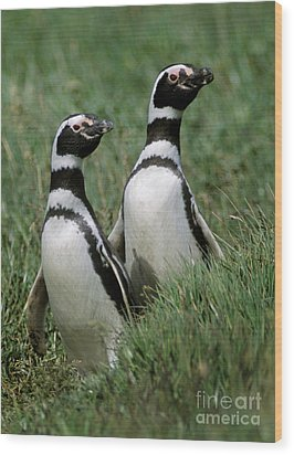 Wood Print featuring the photograph Megellanic Penguin Couple - Patagonia by Craig Lovell
