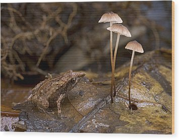 Microhylid Frog Papua New Guinea Wood Print by Piotr Naskrecki