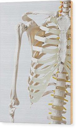 Midsection Of An Anatomical Skeleton Model Wood Print by Rachel de Joode