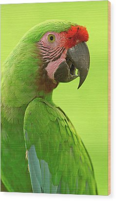 Military Macaw Ara Militaris Portrait Wood Print by Pete Oxford
