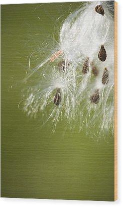 Milk Weed Seed Wood Print