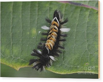 Milkweed Tussock Caterpillar Wood Print by Randy Bodkins