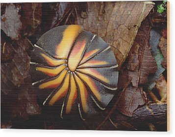 Millipede Rolled Into Ball Position Wood Print by Mark Moffett