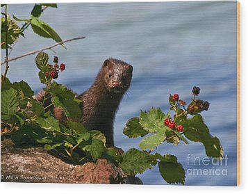 Wood Print featuring the photograph Mink In Blackberries. by Mitch Shindelbower