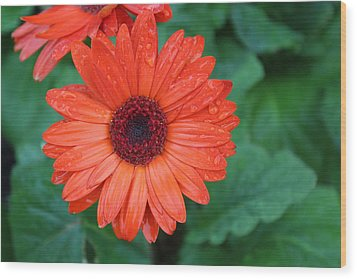 Wood Print featuring the photograph Miss Daisy by Bob Whitt